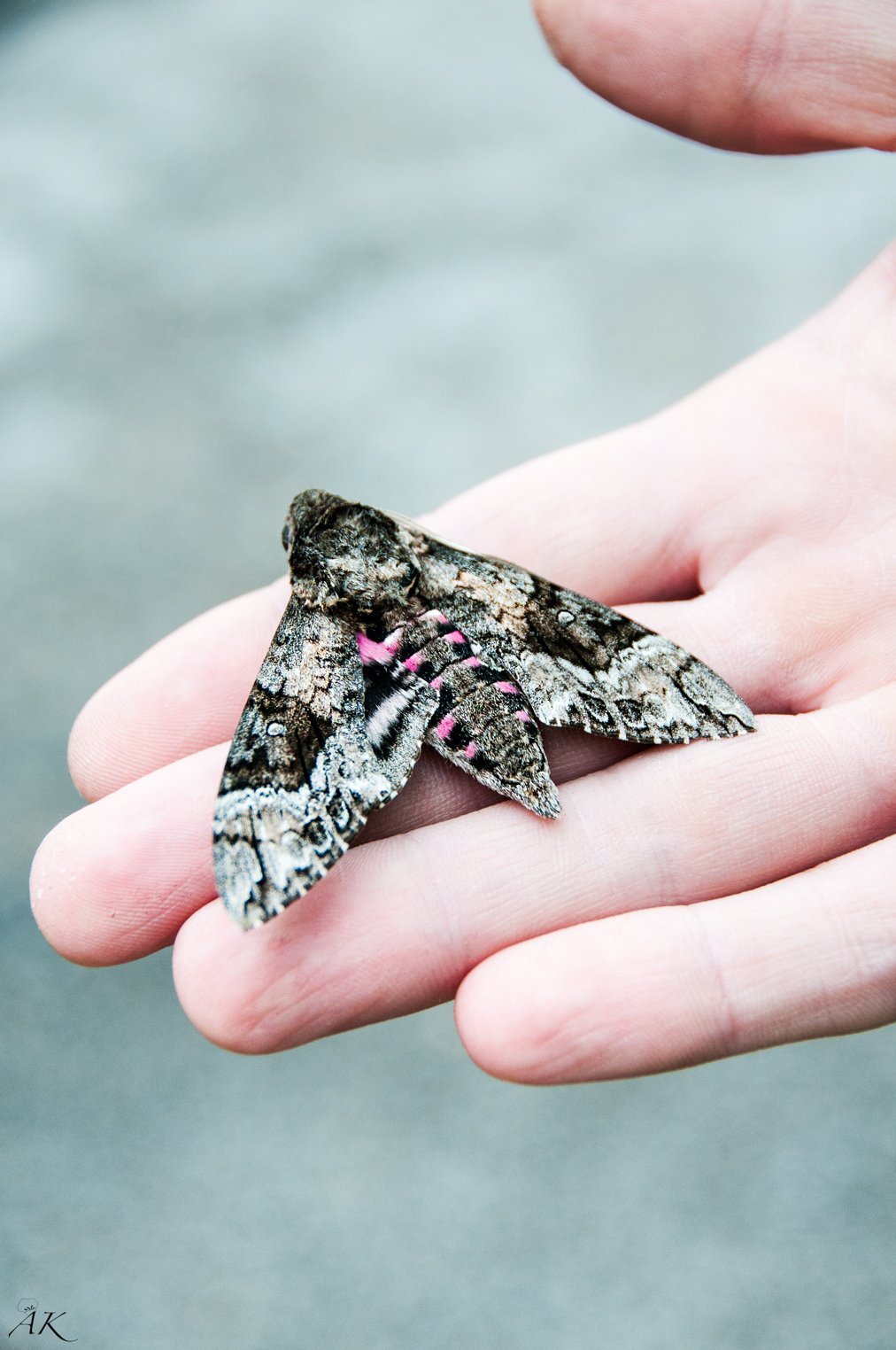New Orleans Moth
