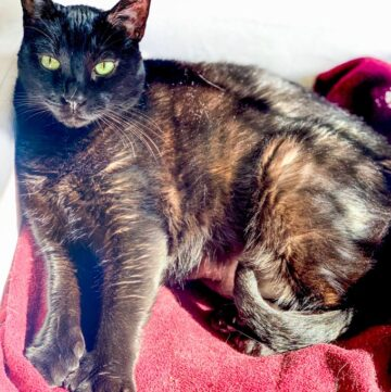 Calypso Black Polydactyl Cat Sun Bathing on red blanket
